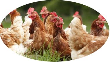 Frische Eier aus Freilandhaltung L